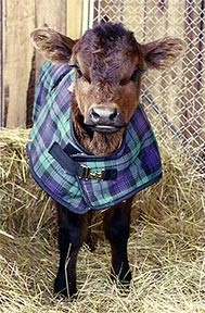 calf-blanket
